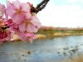[花][桜][風景・景観]河津桜まつり(静岡県河津町)