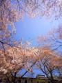 [はてなハイク][花][桜]桜