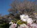 [風景・景観][花][桜]谷厳寺(長野県中野市)
