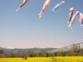 [風景・景観][菜の花]千曲川河川公園(長野県上高井郡小布施町)