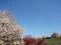 [風景・景観][桜][花]千曲川河川公園(長野県上高井郡小布施町)