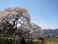 [風景・景観][桜]黒部のエドヒガン桜(長野県上高井郡高山村)