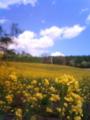 [はてなハイク][菜の花]花写真