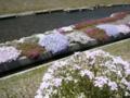 [風景・景観][花]農具川河川公園の芝桜