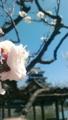 [はてなハイク][梅]花写真