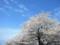 舟川べり桜並木(富山県下新川郡朝日町)