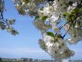 [風景・景観][桜]舟川べり桜並木(富山県下新川郡朝日町)