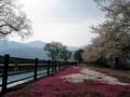 [風景・景観][桜][花]拾ヶ堰じてんしゃ広場(長野県安曇野市)