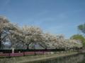 [風景・景観][桜]拾ヶ堰じてんしゃ広場(長野県安曇野市)