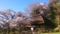 [はてなハイク][桜]桜