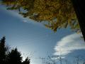[紅葉][空]長福寺の大銀杏