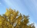 [紅葉]長福寺の大銀杏