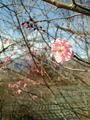 [はてなハイク][花][梅]花写真