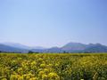 [風景・景観][花][菜の花][空]道の駅 花の駅千曲川から(長野県飯山市)