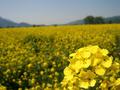 [風景・景観][花][菜の花]道の駅 花の駅千曲川から(長野県飯山市)