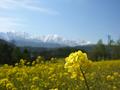 [風景・景観][花][菜の花][空][山]中山高原(長野県大町市)