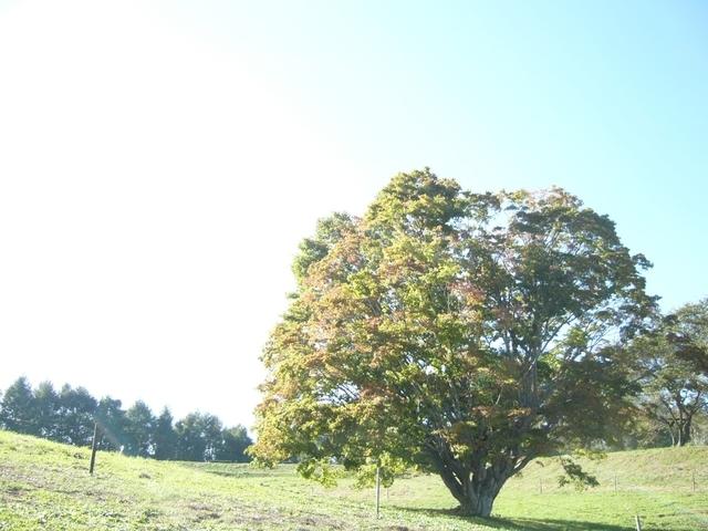 七色大カエデ(長野県北安曇郡池田町)