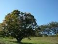 [風景・景観][空][紅葉]七色大カエデ(長野県北安曇郡池田町)