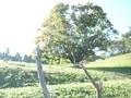 [風景・景観][紅葉]七色大カエデ(長野県北安曇郡池田町)