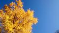 [風景・景観][紅葉]長福寺の大イチョウ(長野県北安曇郡池田町)
