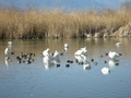 [鳥]御法田白鳥飛来池にて