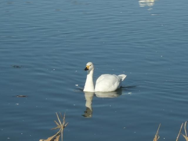 御法田白鳥飛来池にて