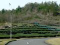 Tea Plantation Field in Kyoto