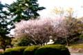 見事に咲いた秋桜