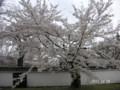 花密度の高い桜の木