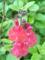 アキノベニバナサルビア(オータムセージ)