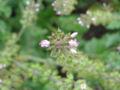 サルビア(園芸種)