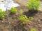 ムラサキウマゴヤシ