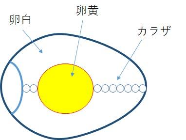 生卵の構造