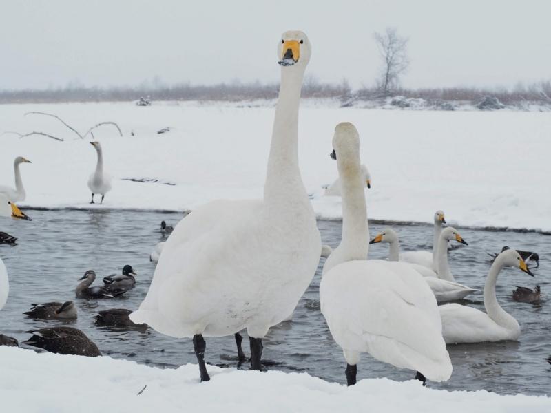 音更町の十勝川温泉にある白鳥飛来地にいる白鳥