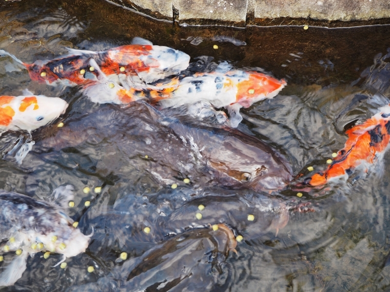 きれいな鯉がおよぐ知覧の水路