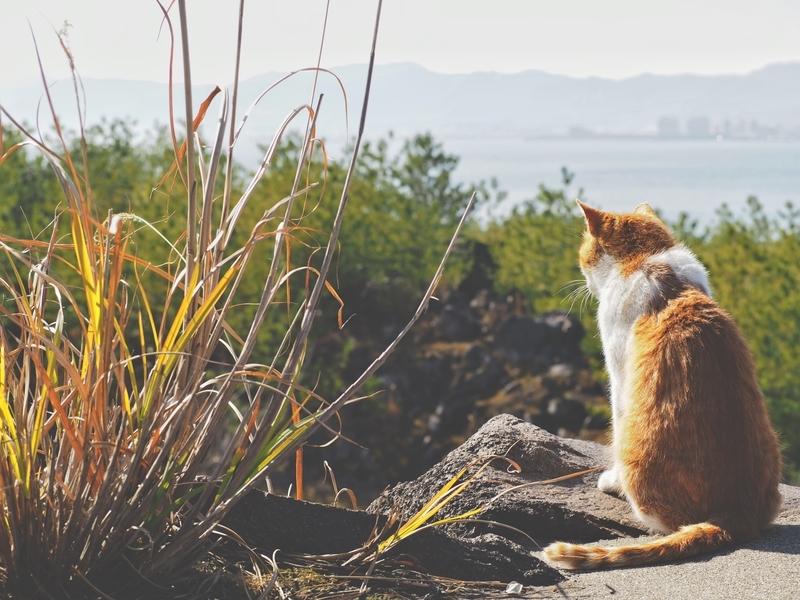 桜島にある烏島展望所に生息する猫