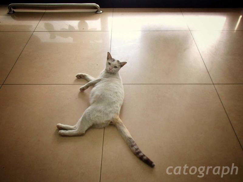 バンコクのセブンイレブンの店内で悪びれることもなく寝そべる猫