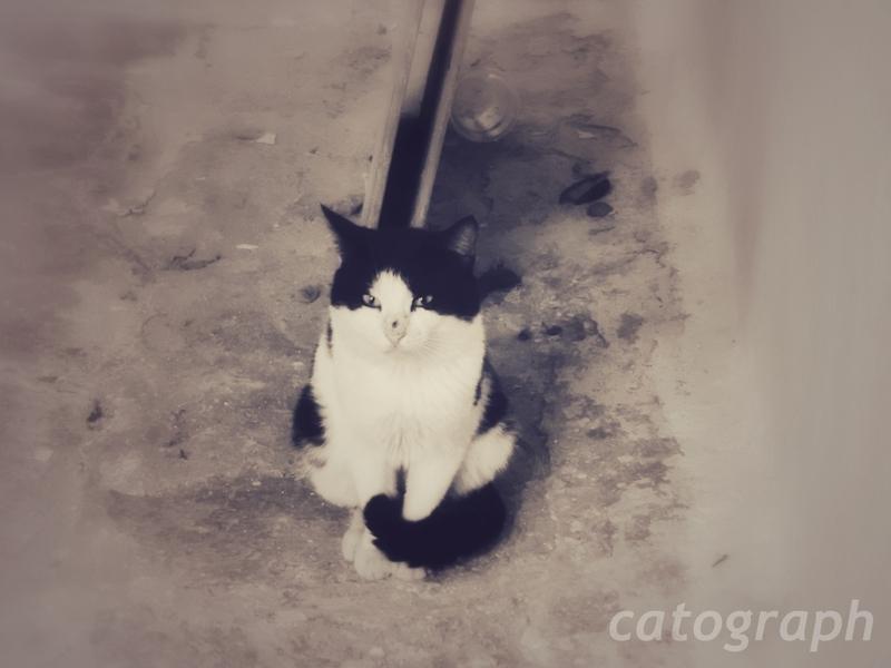 ギリシャのミコノス島で行儀よく私を見つめる顔が白と黒の猫