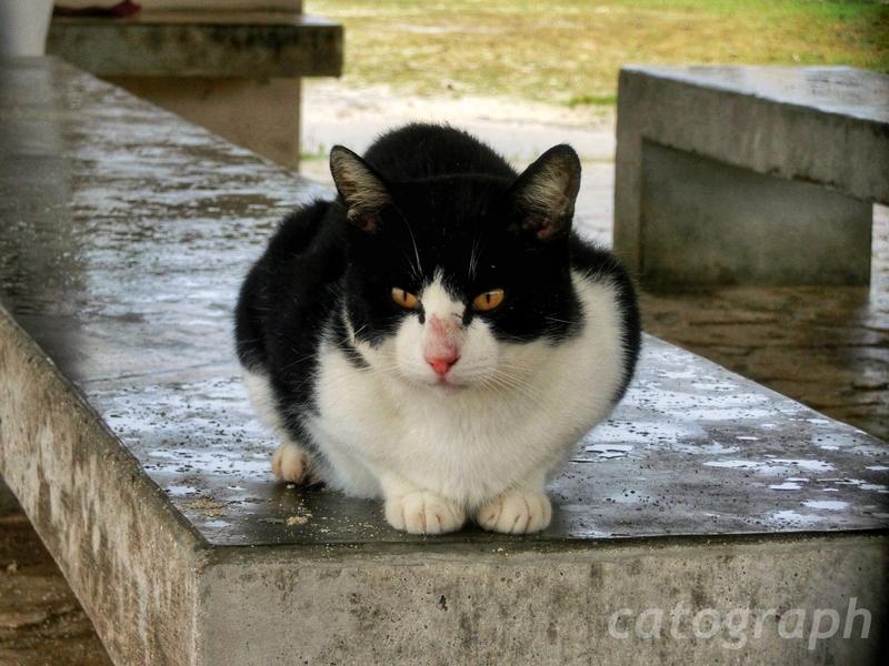 沖縄県竹富島のコンドイビーチにある東屋のような休憩所で雨宿りする黒と白の模様で落ち着いた猫