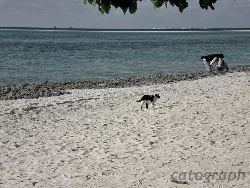 竹富島にあるカイジ浜を優雅に歩く猫