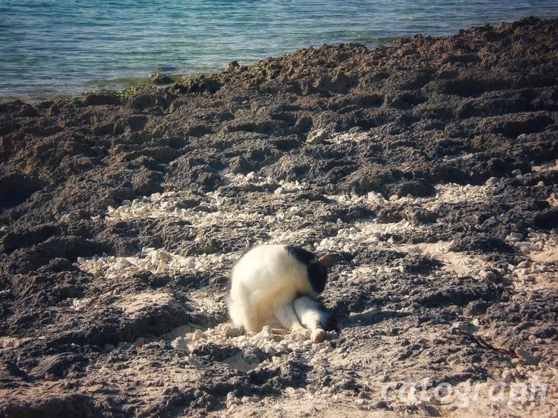 竹富島にあるカイジ浜で身繕いをする猫