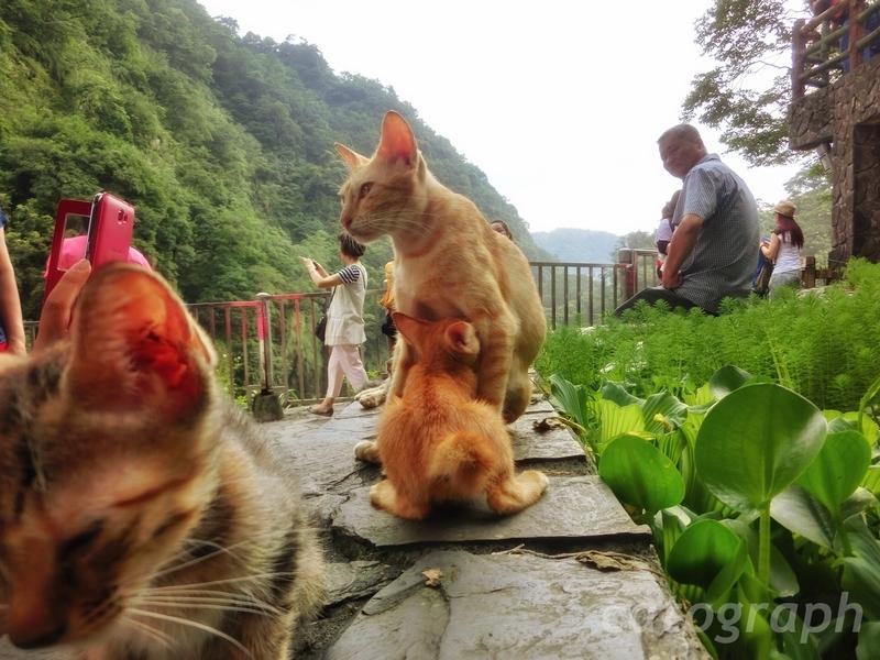 新北市の十分瀑布にいた耳が大きな双子の猫。片方は甘えん坊である