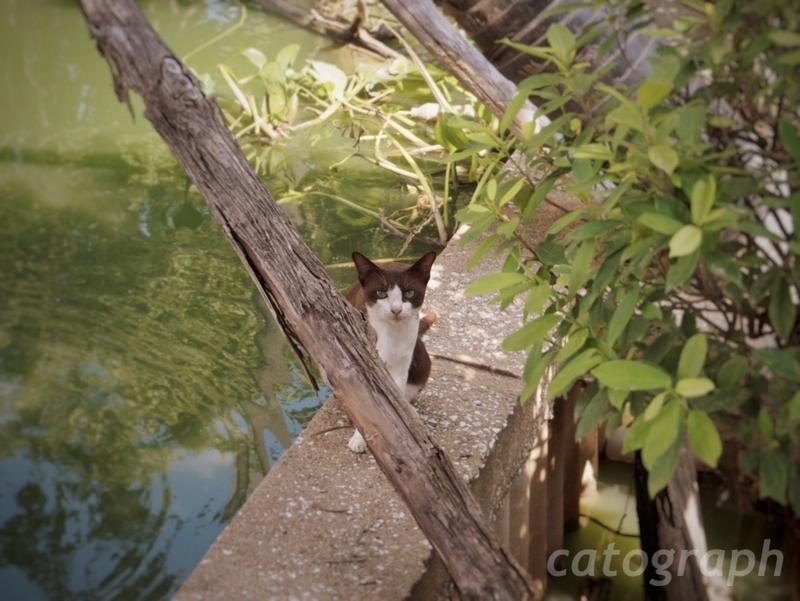 スコータイのワット・トラバン・トーン・ラーン周辺の池で売っているタンブン用のえさ売場にいた猫。物陰からこちらを見つめている