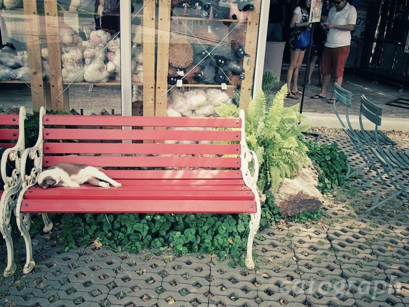 タイのラチャブリー県スワンプンにあるシナリー・ビンテージ・ファームの入口でまどろむ猫