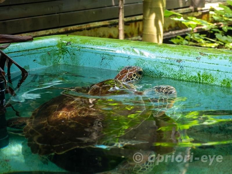 黒島研究所の屋外にいるウミガメ