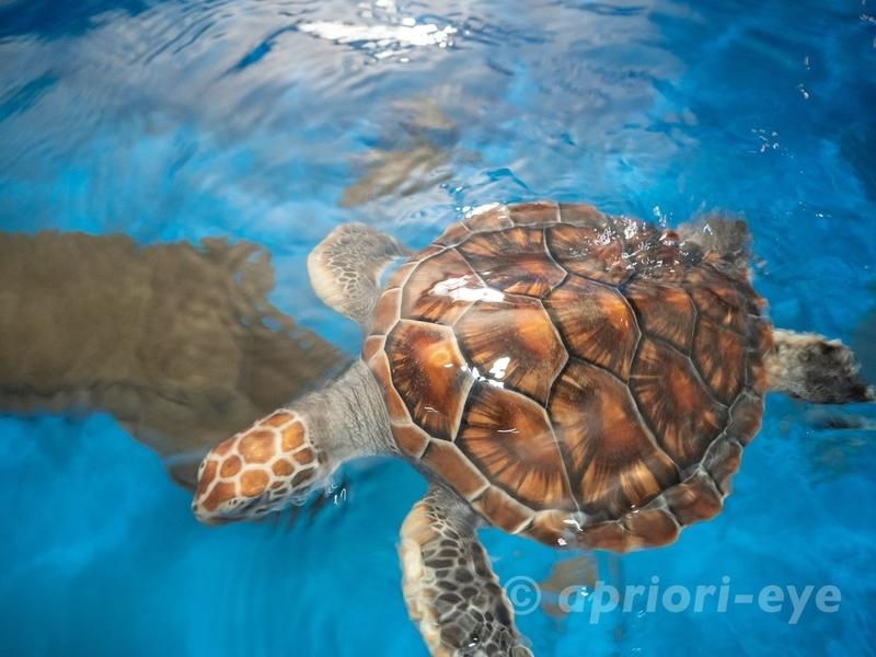 黒島研究所のウミガメ