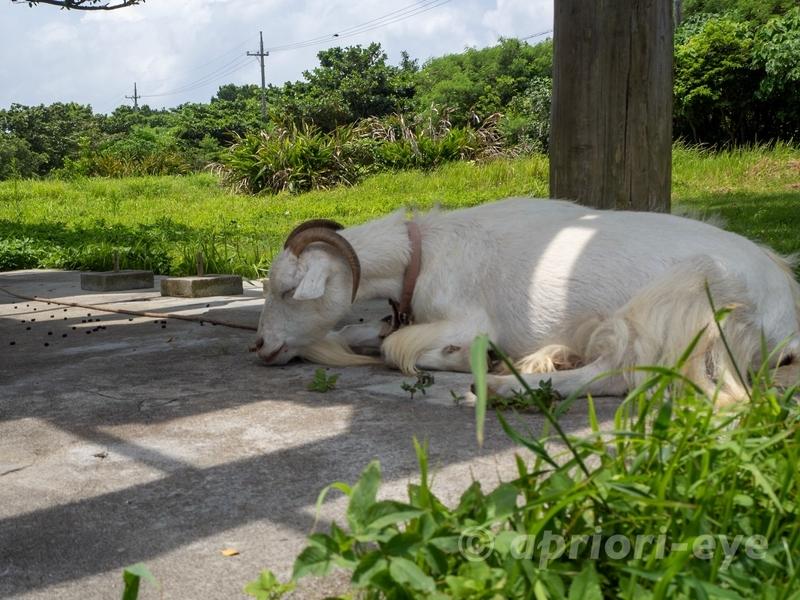 黒島研究所の近くにいる昼寝をしているヤギ
