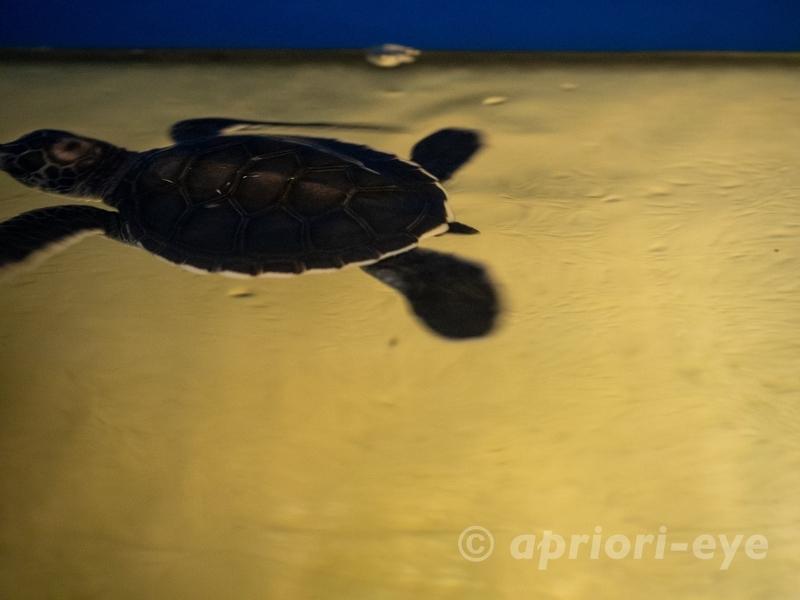 黒島研究所の水槽の中を泳ぐウミガメの子供