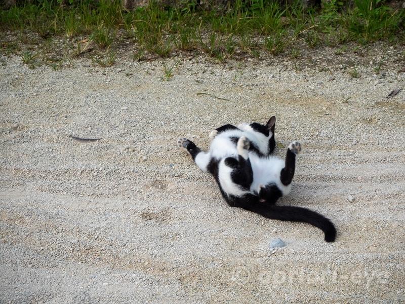 早朝の竹富島の集落で、地面に体をこすりつける白と黒の猫