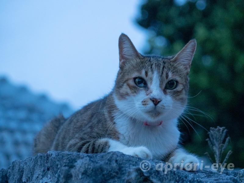夕暮れ時の竹富島の集落の石垣の上にいる猫